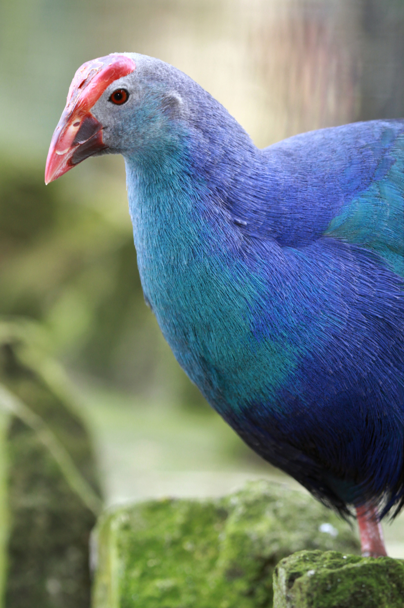 4_Purple Gallinule adult Paradise Park Cornwall