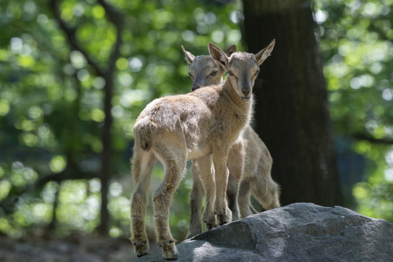 3_Julie Larsen Maher_5644_Markhor and Kids_WAS_BZ_06 09 16