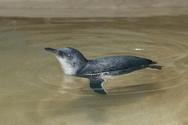 4_Julie Larsen Maher_7335_Little Penguin Chick_ABH_BZ_07 25 16
