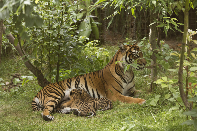 2_Sumatran tiger cubs July 2016 (c) ZSL London Zoo (1)