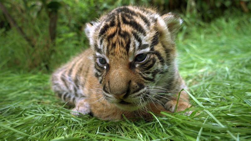 4_Tiger Cub - ZSL London Zoo