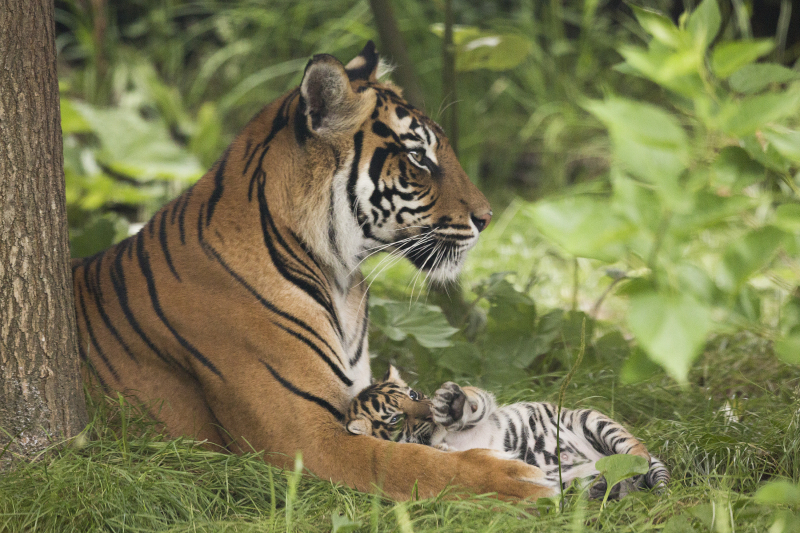 5_Sumatran tiger cubs July 2016 (c) ZSL London Zoo (3)