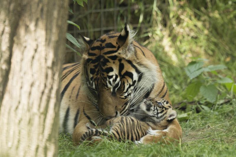 6_Sumatran tiger cubs July 2016 (c) ZSL London Zoo (4)