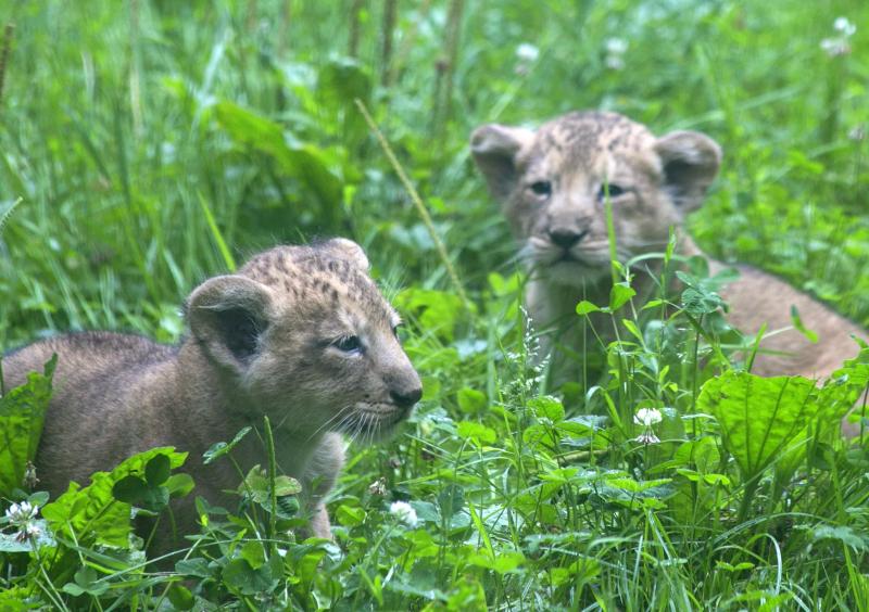 2016 07 PZ Asiatic lion cubs 3