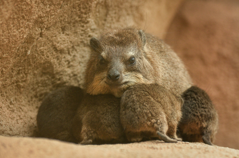 1_Four rock hyrax pups born at Chester Zoo (44)