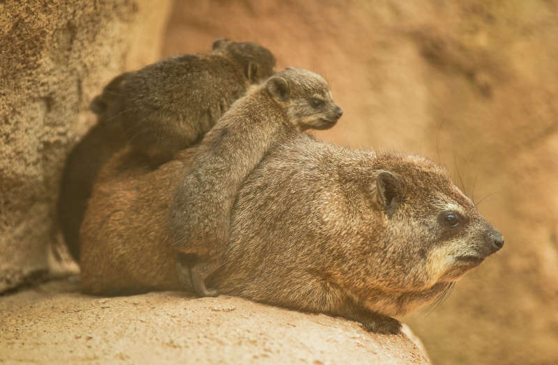 3_Four rock hyrax pups born at Chester Zoo (2)