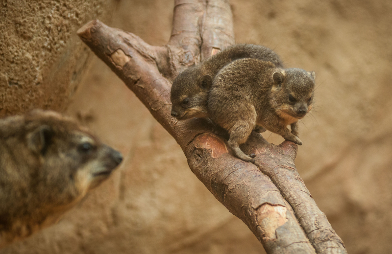 8_Four rock hyrax pups born at Chester Zoo (15)