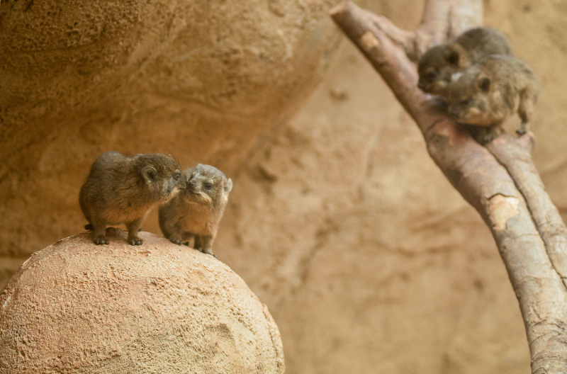 9_Four rock hyrax pups born at Chester Zoo (21)