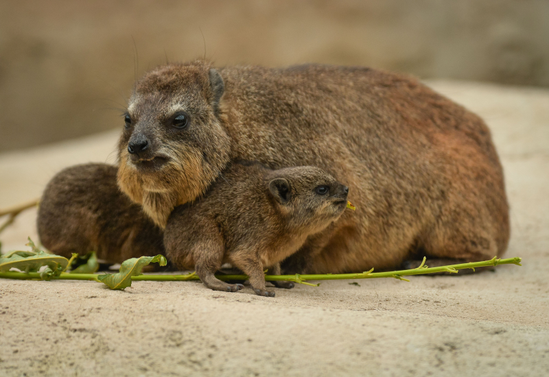 11_Four rock hyrax pups born at Chester Zoo (34)