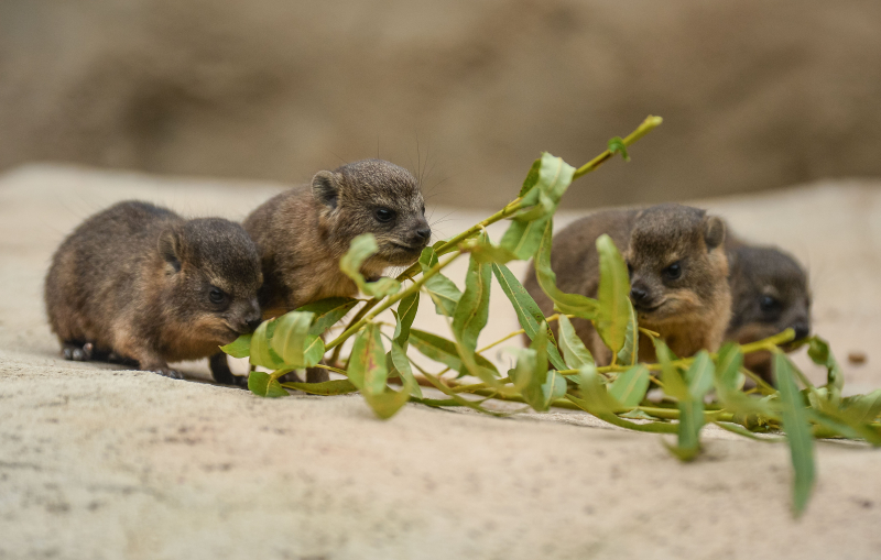 12_Four rock hyrax pups born at Chester Zoo (19)