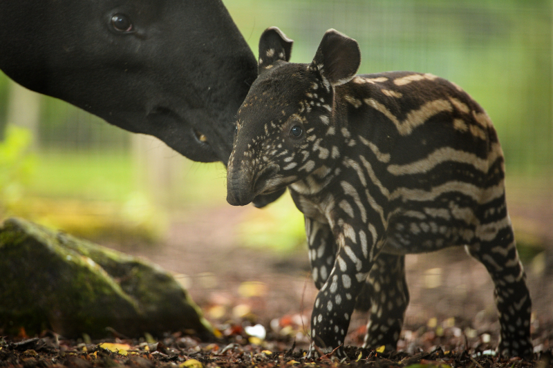 2_Solo the Malayan tapir calf goes on his first outdoor adventure at Chester Zoo (11)