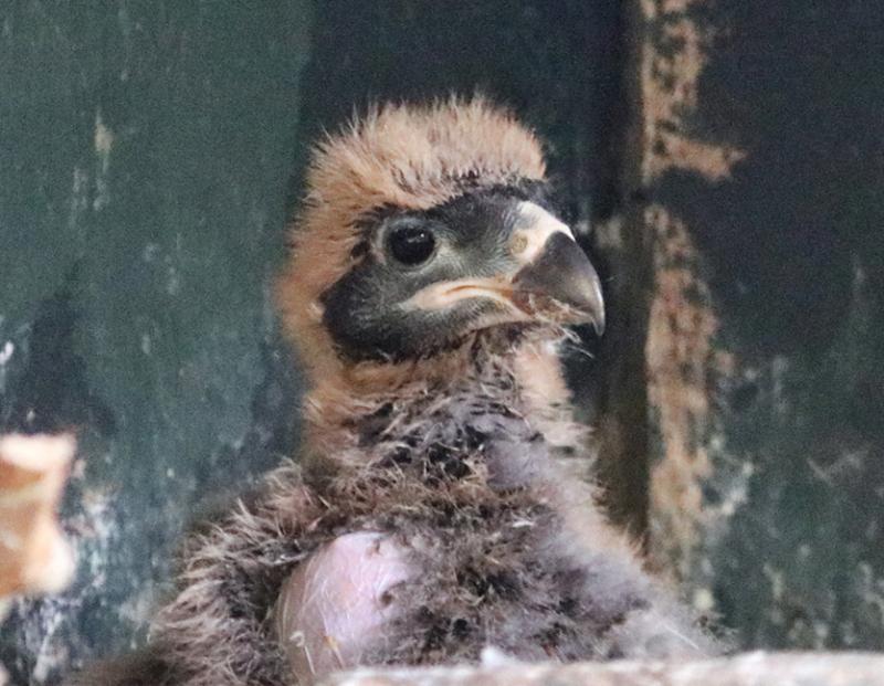 1_Caracara chick Paradise Park Cornwall 2