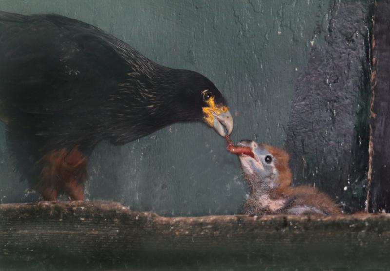 3_Caracara feeding chick Paradise Park Cornwall