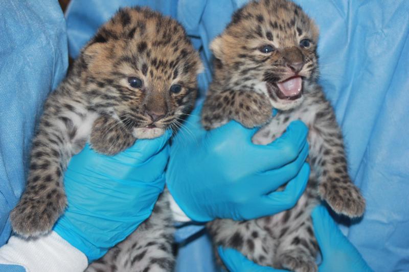 1_Potawatomi Zoo Amur Leopard Cubs 2016