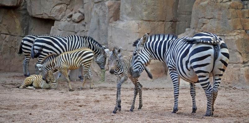 3_3 crías de cebra nacidas este año en BIOPARC Valencia 2016