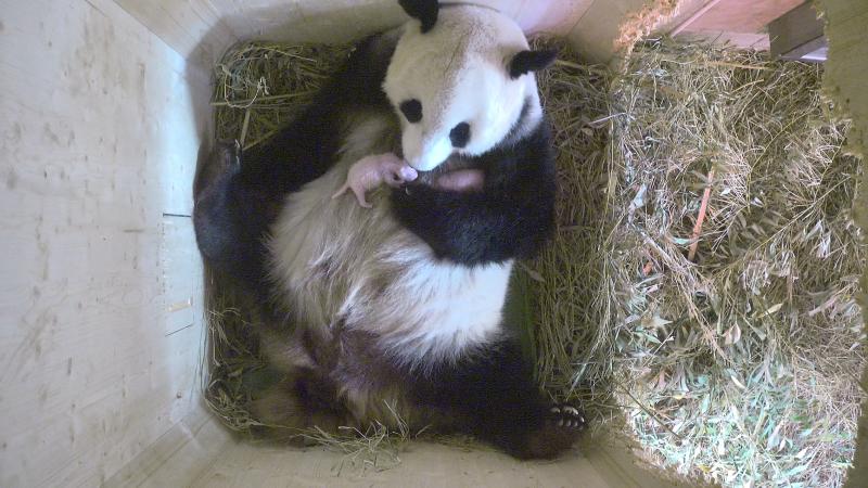 2_Pandazwillinge1