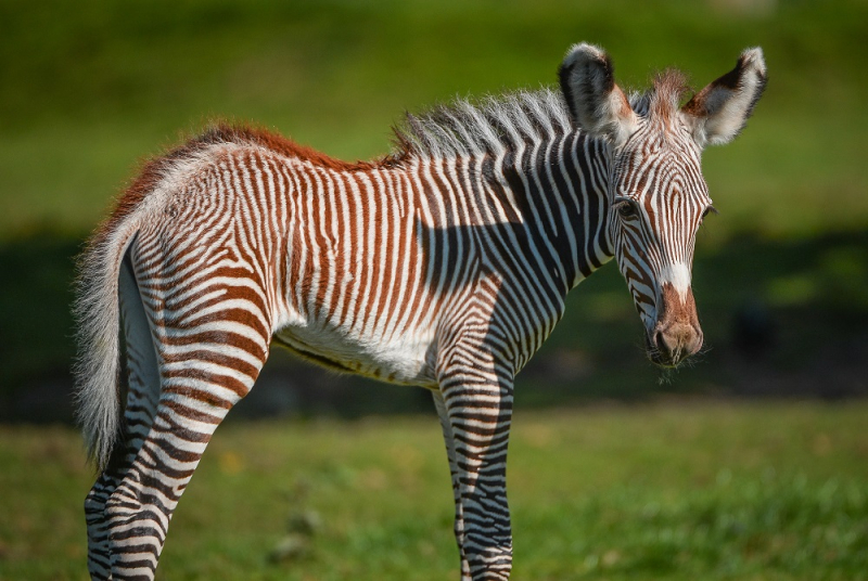 Adorable one-day-old zebra foal born at Chester Zoo to mum, Flo.  (36)
