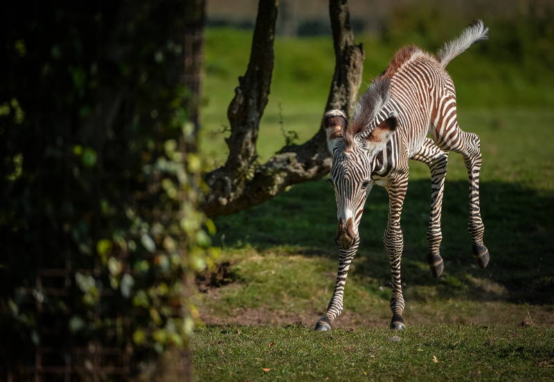 Adorable one-day-old zebra foal born at Chester Zoo to mum, Flo.  (43)