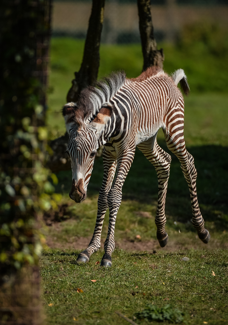 Adorable one-day-old zebra foal born at Chester Zoo to mum, Flo.  (45)