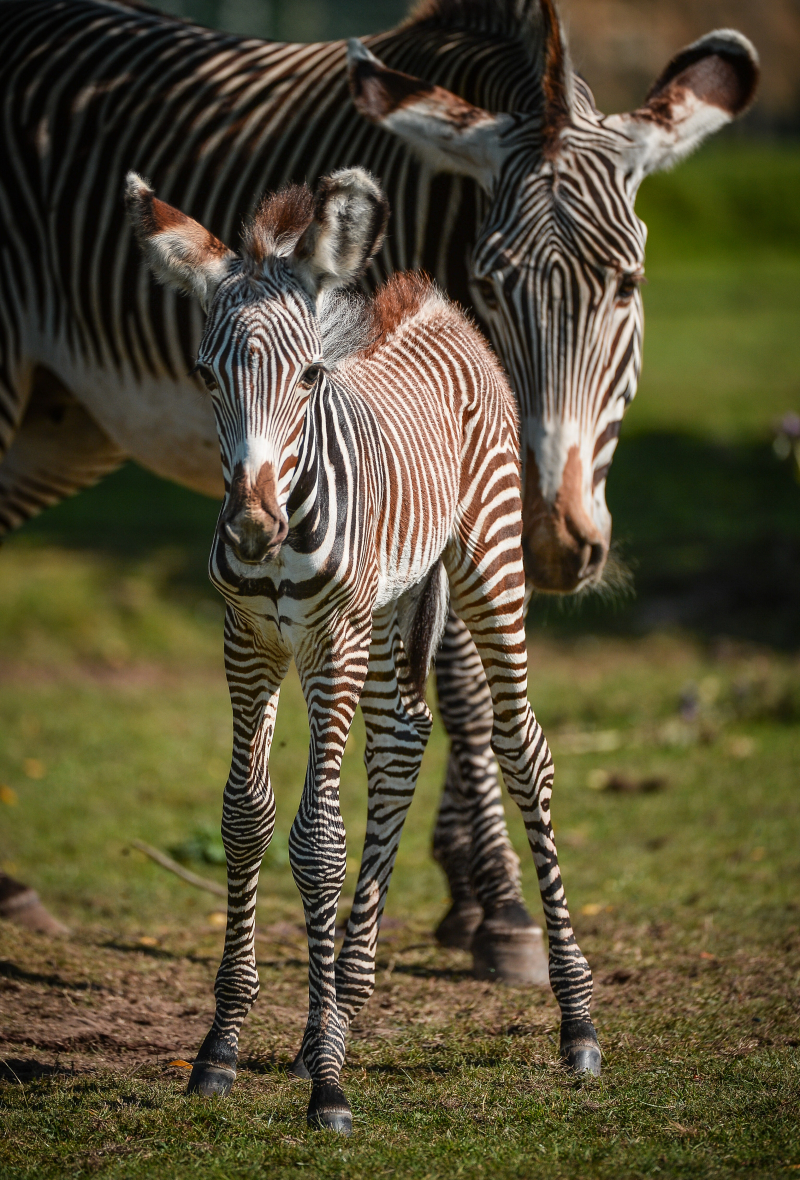 Adorable one-day-old zebra foal born at Chester Zoo to mum, Flo.  (48)