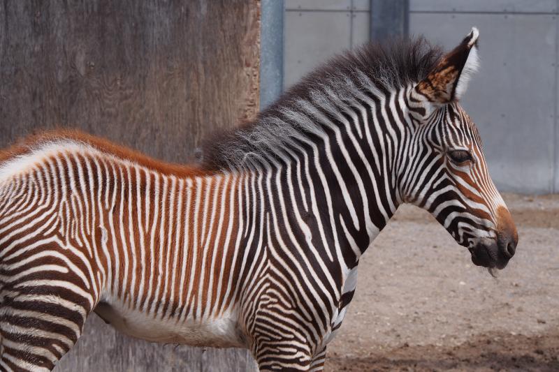 4_TZ_GrevysZebraFoal_Photo Credit - K.Haider, Toronto Zoo - 4