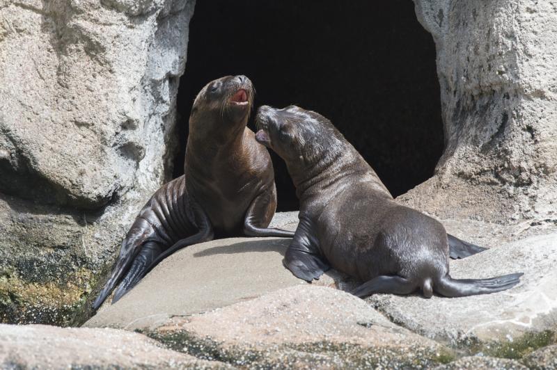 4_Julie Larsen Maher_5809_California Sea Lion Pups_SLP_BZ_07 11 16