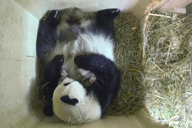 3_Pandazwillinge 22_ August