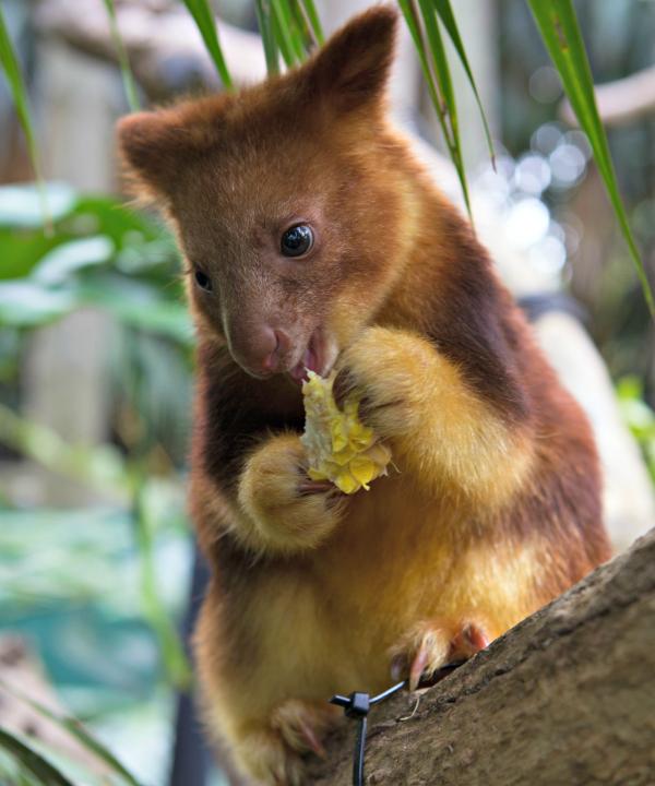 Meet Mian, the Endangered Tree Kangaroo Joey - ZooBorns