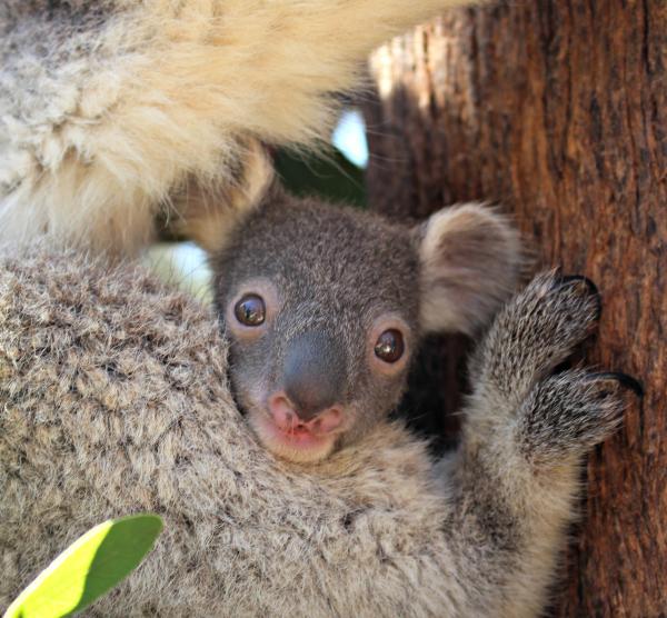 Koala Joey Peeks Out of the Pouch - ZooBorns