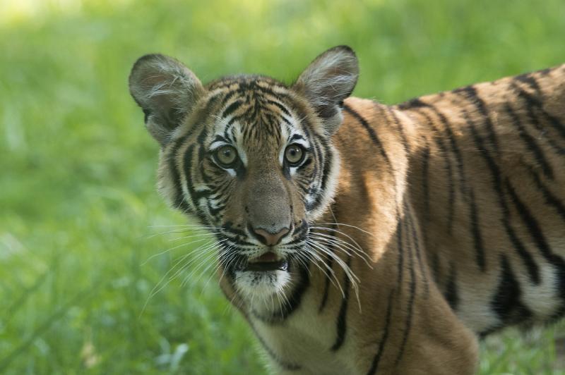 2_Julie Larsen Maher_4579_Malayan Tiger Cubs_TM_BZ_08 29 16