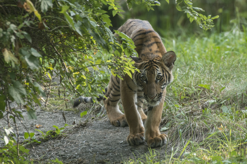 5_Julie Larsen Maher_4415_Malayan Tiger Cubs_TM_BZ_08 29 16