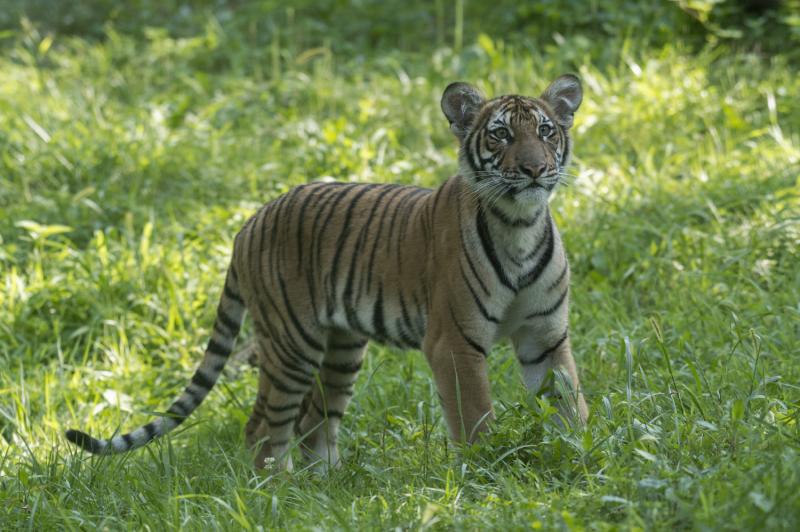 9_Julie Larsen Maher_4549_Malayan Tiger Cubs_TM_BZ_08 29 16