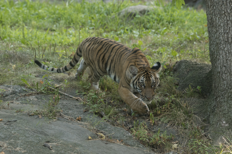 10_Julie Larsen Maher_4476_Malayan Tiger Cubs_TM_BZ_08 29 16