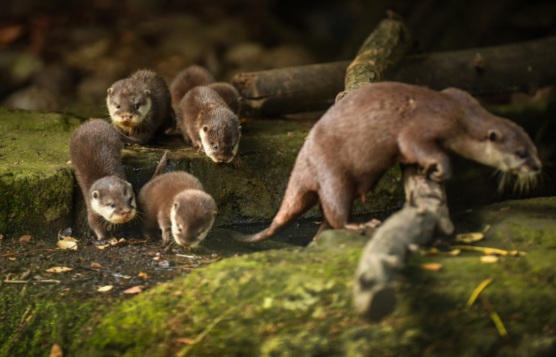 3_Chester Zoo's cute new otter pups given their first swimming lessons by mum Annie and dad Wallace (25)