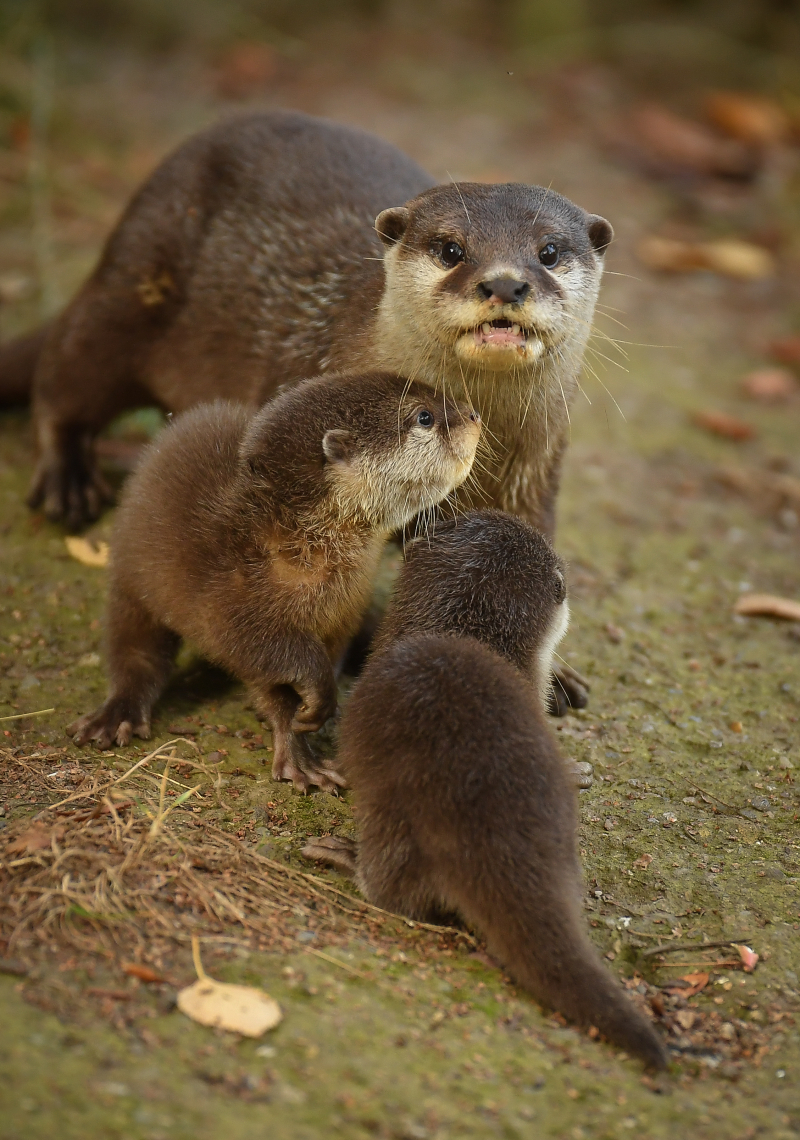7_Chester Zoo's cute new otter pups given their first swimming lessons by mum Annie and dad Wallace (13)