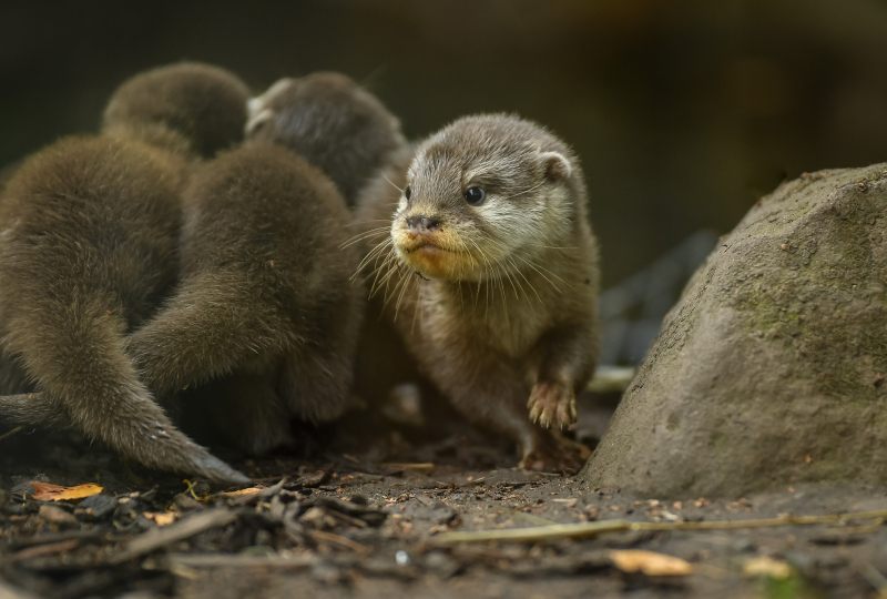 9_Chester Zoo's cute new otter pups given their first swimming lessons by mum Annie and dad Wallace (37)