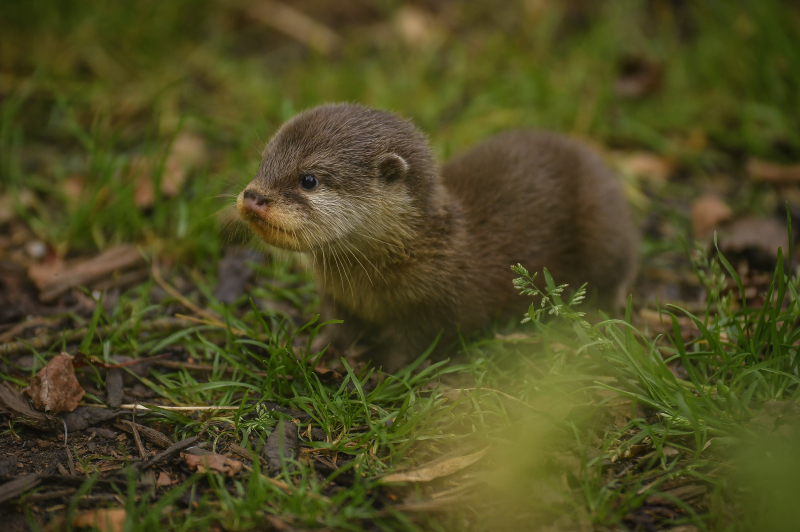 11_Chester Zoo's cute new otter pups given their first swimming lessons by mum Annie and dad Wallace (44)