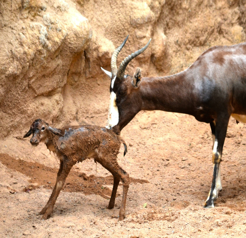 BIOPARC Valencia - blesbok recién nacido - sept 2016 (4)