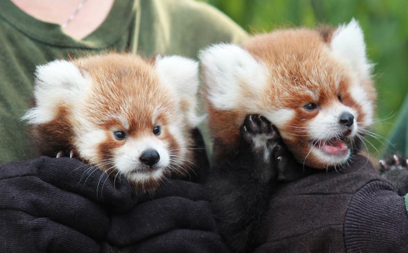 RGZ Red Panda Cubs 2016