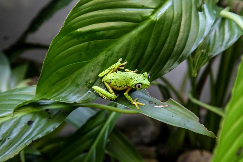 3_2016 09 PZ adult lemur leaf frog 1