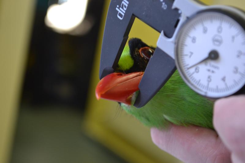 8_Javan green magpie vet check at Chester Zoo (1)