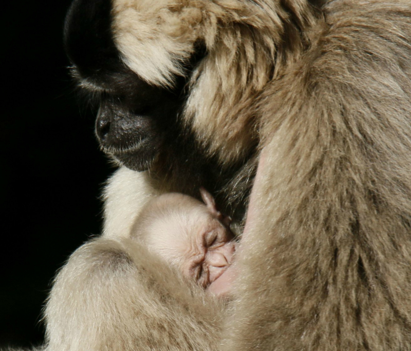 Mom & Baby 2016 10 PZ pileated gibbon baby by Miriam Haas 1