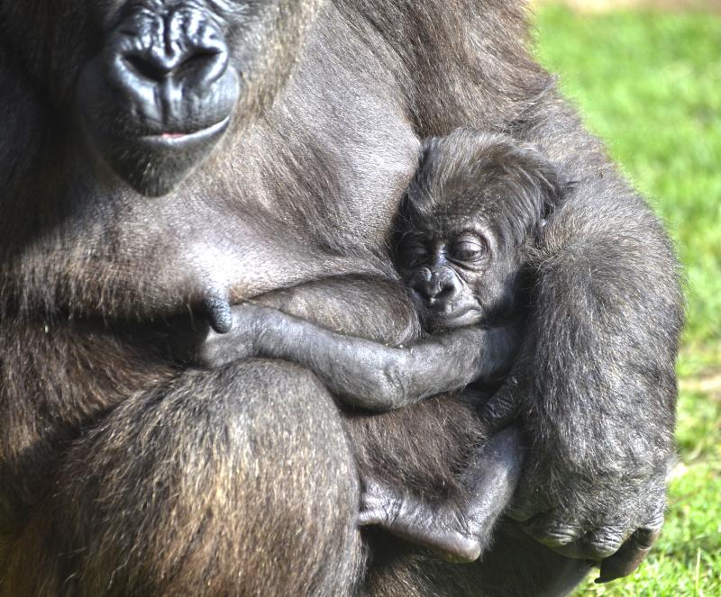 1_OCTUBRE 2016 - BIOPARC Valencia - La gorila Nalani y su bebé de 7 semanas de vida (3)