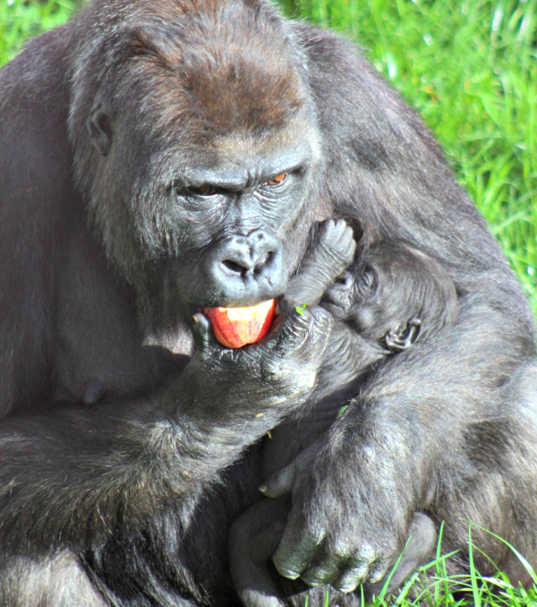 Belfast's Baby Gorilla Is A Girl!