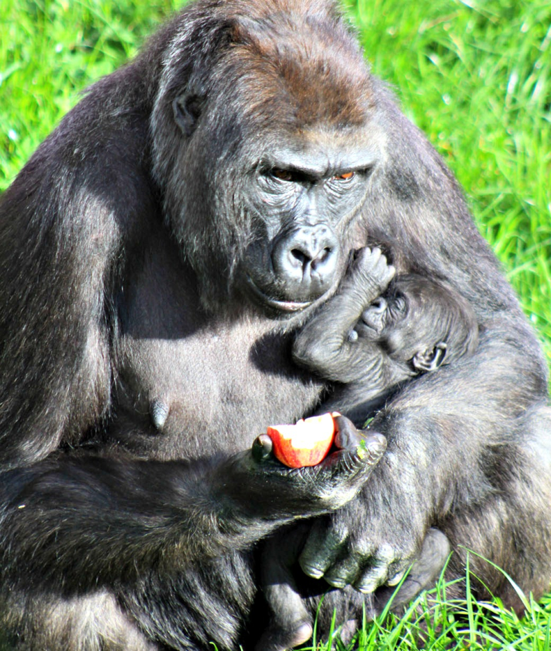 (1)  Belfast Zoo is celebrating the birth of a critically endangered Western lowland gorilla!