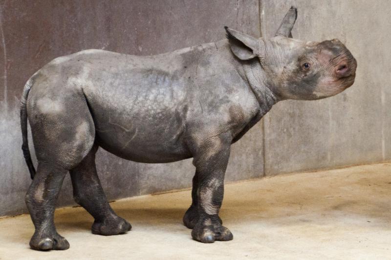 4_Rhino_calf_10-11-16