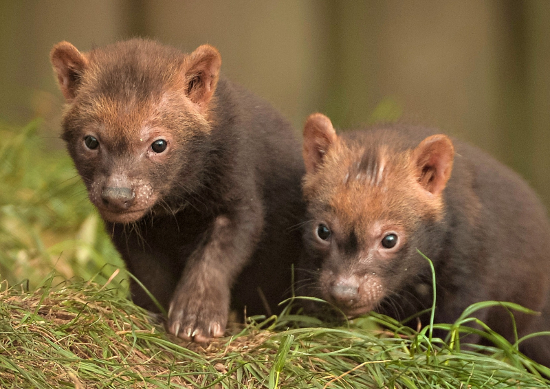 FB TW Two litters of bush dog pups have been born and started to venture outside for the first time at Chester Zoo (52)