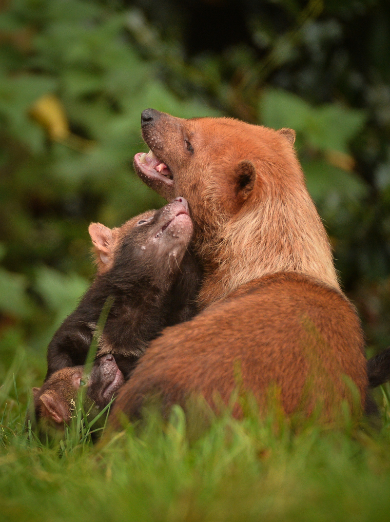 Two litters of bush dog pups have been born and started to venture outside for the first time at Chester Zoo (13)