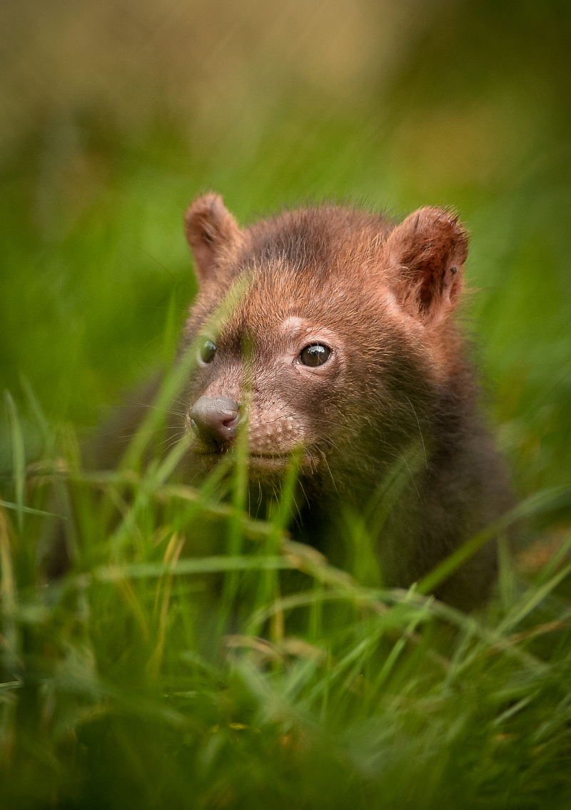 Two litters of bush dog pups have been born and started to venture outside for the first time at Chester Zoo (5)