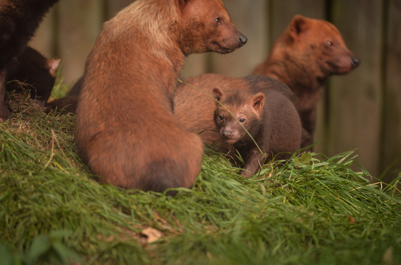 Two litters of bush dog pups have been born and started to venture outside for the first time at Chester Zoo (48)